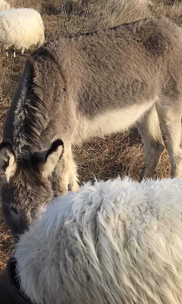 Meet Clara our Donkey!