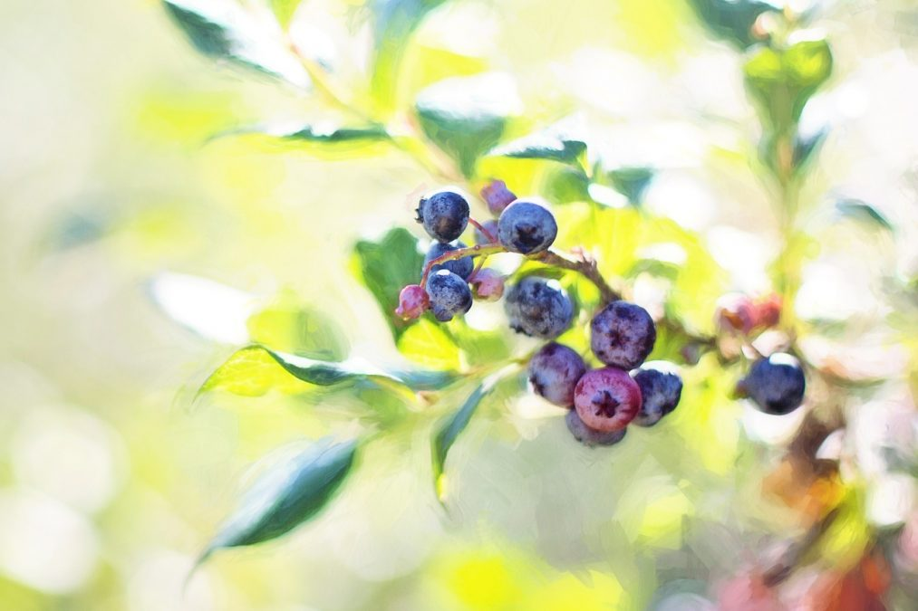 blueberries, bush, summer