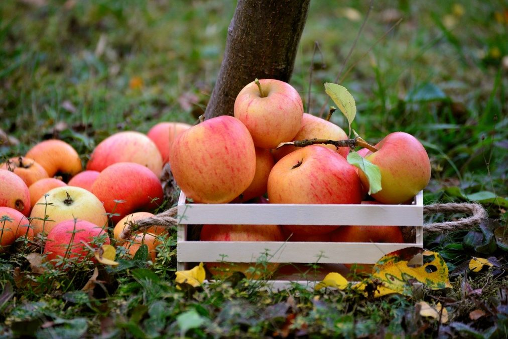apple season, fruit, orchard