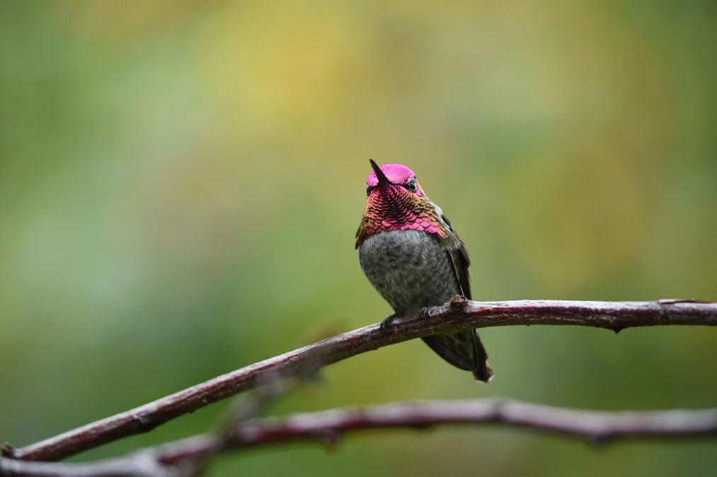 hummingbird, ruby-throated hummingbird, bird
