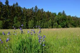 iris, siberian iris, flower