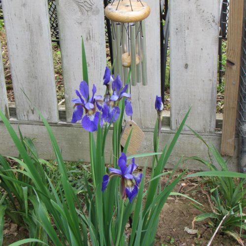 My Siberian Irises just beginning to bloom!